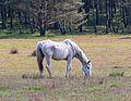 Stukenbrock - 2016-05-01 - Senner Pferde Moosheide (019).jpg
