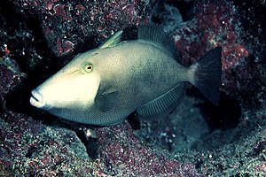 Triggerfish - Masked triggerfish (Sufflamen fraenatum) with its first dorsal spine partially raised