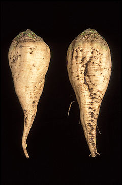 Two sugar beets - the one on the left has been cultivated to be smoother than the traditional beet, so that it traps less soil.