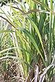 Sugarcane Capanema Maragogipe Bahia 0533.jpg
