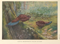 Sumatra Bronze-tailed Peacock Pheasant by George Edward Lodge.png