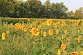 Sunflower Field Ann Arbor Township Michigan.JPG