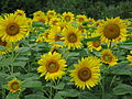 Sunflowers at Farm Tomita.jpg