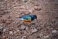 Superb starling, Lake Manyara National Park (3) (28547756286).jpg