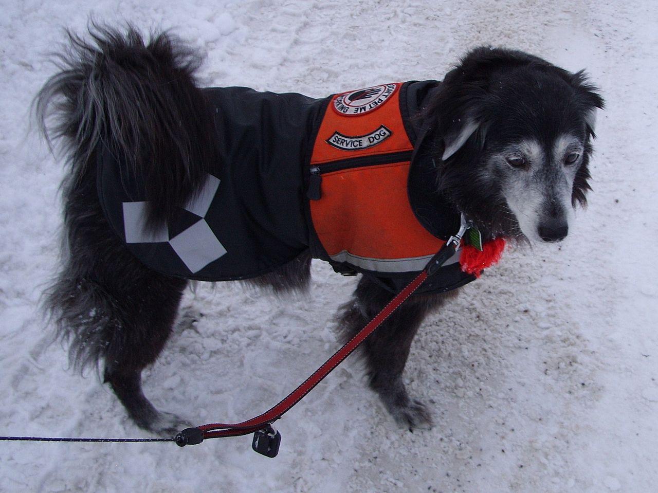 Suzi service dog snow 009.JPG