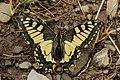 Swallowtail - Papilio machaon (44359716371).jpg