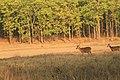 Swamp deer (13).jpg
