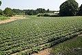 Sweet potato field in Namegata, Ibaraki 09.jpg