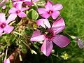 Swollen-kneed flower beetle (17148859838).jpg