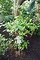 Synsepalum dulcificum-Jardin botanique de Berlin (1).jpg
