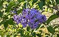 Syren (Syringa vulgaris) 002.jpg