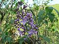 Syringa vulgaris Bulgaria 5.jpg
