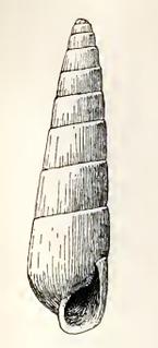 <i>Tibersyrnola cinnamomea</i> species of mollusc