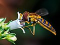 Syrphidae hoverfly feeding, Matutu MG 01.jpg