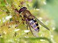 Syrphus ribesii, UK.jpg