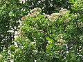 Syzygium caryophyllatum - South Indian Plum at Mayyil (16).jpg