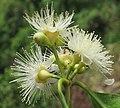 Syzygium hemisphericum 10.jpg