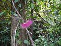 Syzygium laetum (Buch.-Ham.) Gandhi (16194307255).jpg