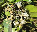 Syzygium zeylanicum 10.JPG
