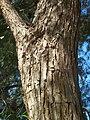 T.tipu-bark-2.jpg