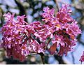 Tabebuia impetiginosa, the Purple Tabebuia (9260738640).jpg