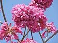 Tabebuia impetiginosa-3-cubbon park-bangalor-India.jpg