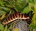 Table Mountain Cockroach (Aptera fusca) female (32832398941).jpg
