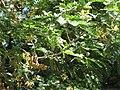 Tamarindus indica.JPG
