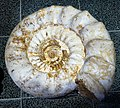 Tampere Mineral Museum - fossil 6.jpg