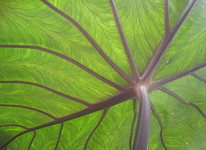 English: Underside of taro (Colocasia esculent...