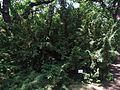 Taxus baccata in Odessa Botanical garden.jpg