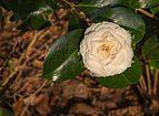 Tere schoonheid van de Camellia × williamsii 'Jury's Yellow' bloem 02.jpg