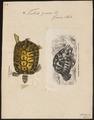 Testudo graeca - 1700-1880 - Print - Iconographia Zoologica - Special Collections University of Amsterdam - UBA01 IZ11600035.tif