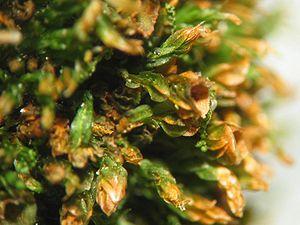 Tetraphidaceae - Tetraphis pellucida