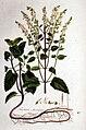 Teucrium scorodonia — Flora Batava — Volume v1.jpg
