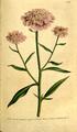 The Botanical Magazine, Plate 106 (Volume 3, 1790).png