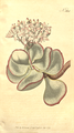 The Botanical Magazine, Plate 384 (Volume 11, 1797).png