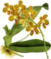 The Orchid Album-01-0047-0015-Vanda parishii-crop.png