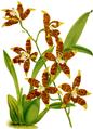 The Orchid Album-02-0033-0058-Odontoglossum triumphans-crop.png