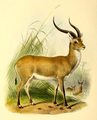 The book of antelopes (1894) Cobus lechee.png