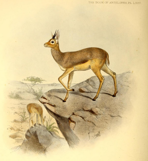 Description de l'image The book of antelopes (1894) Dorcotragus megalotis.png.