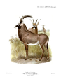 The book of antelopes (1894) Hippotragus equinus.png