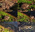 The first day with 15 degrees in April makes the True toads go back to their birth pond to produce eggs. The smaller males hold on the bigger females to be the first to fertilize their eggs - panoramio.jpg