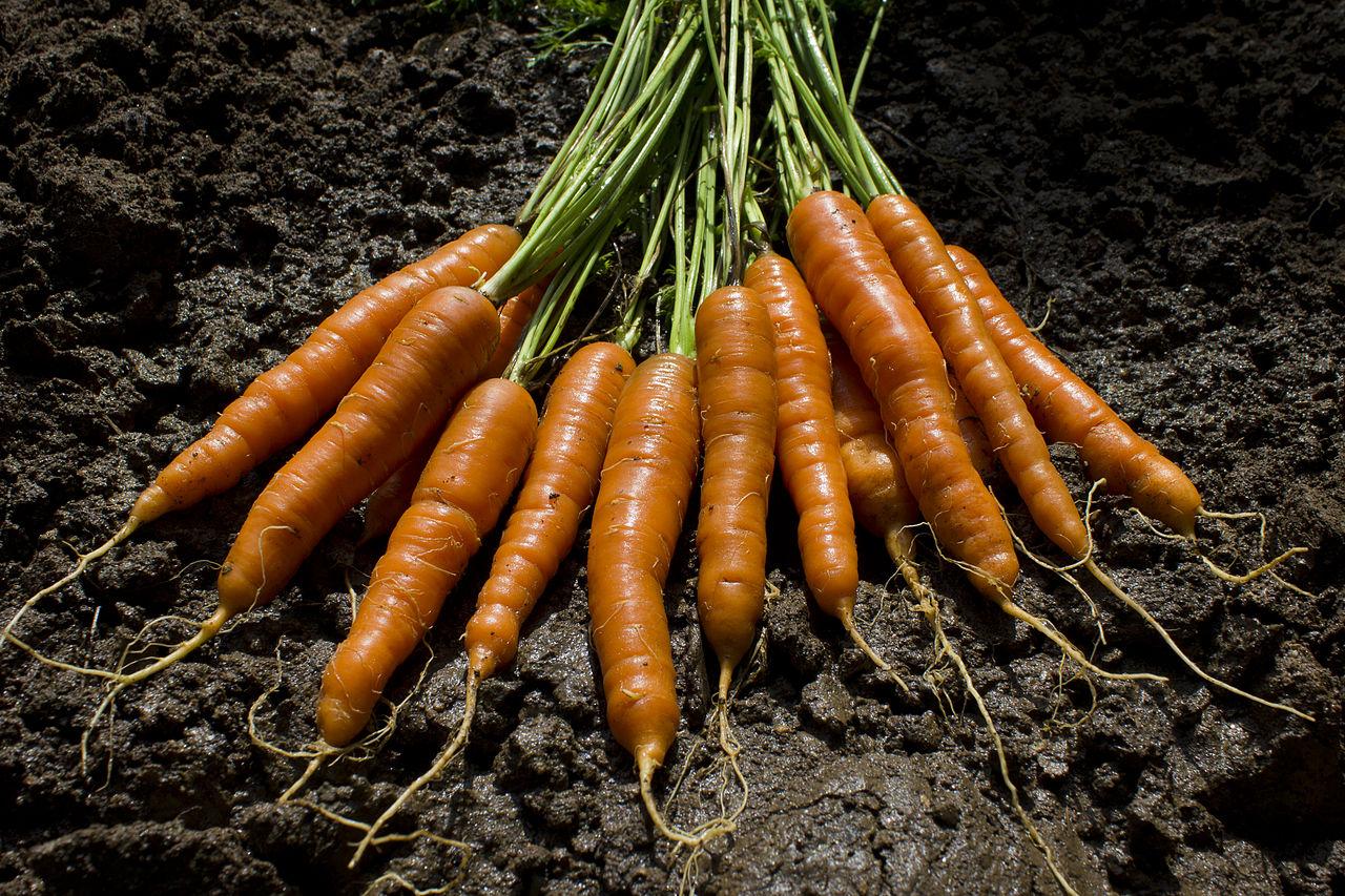 FileThe garden delivers carrotsjpg Wikimedia Commons