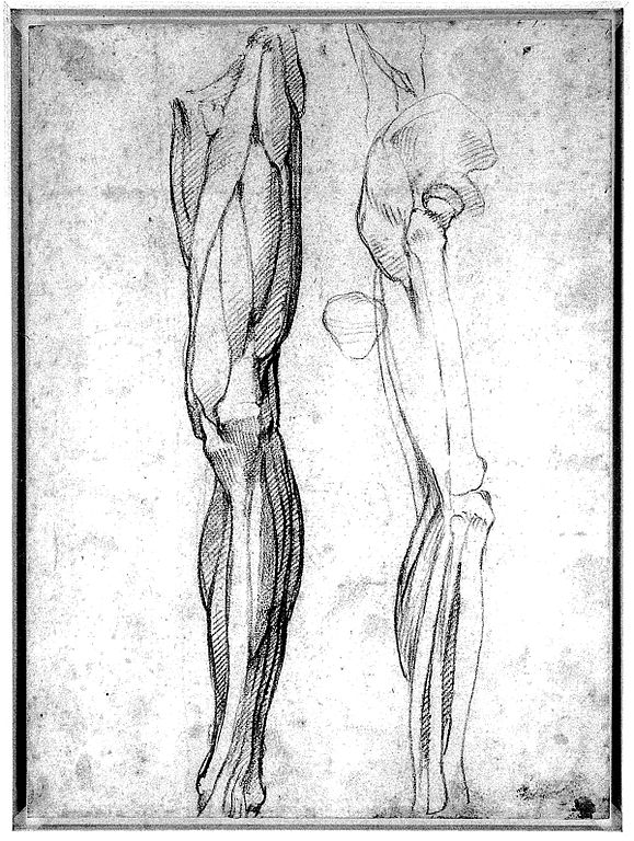 Filethe Muscles Of The Left Leg Seen From The Front And The Bo