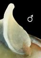 Theodoxus fluviatilis operculum male.png