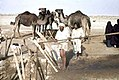 These photos clearly show the use of camel power to draw water from deep desert wells. Note the oil drum in the bottom picture, by 1947 the times are clearly changing.jpg