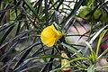 Thevetia peruviana 19zz.jpg