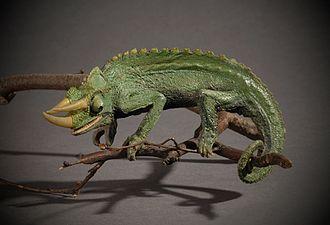 Trioceros deremensis - Image: Thinktank Birmingham object 2008.0407 (1)