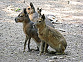 Three Patagonian Maras sitting.jpg